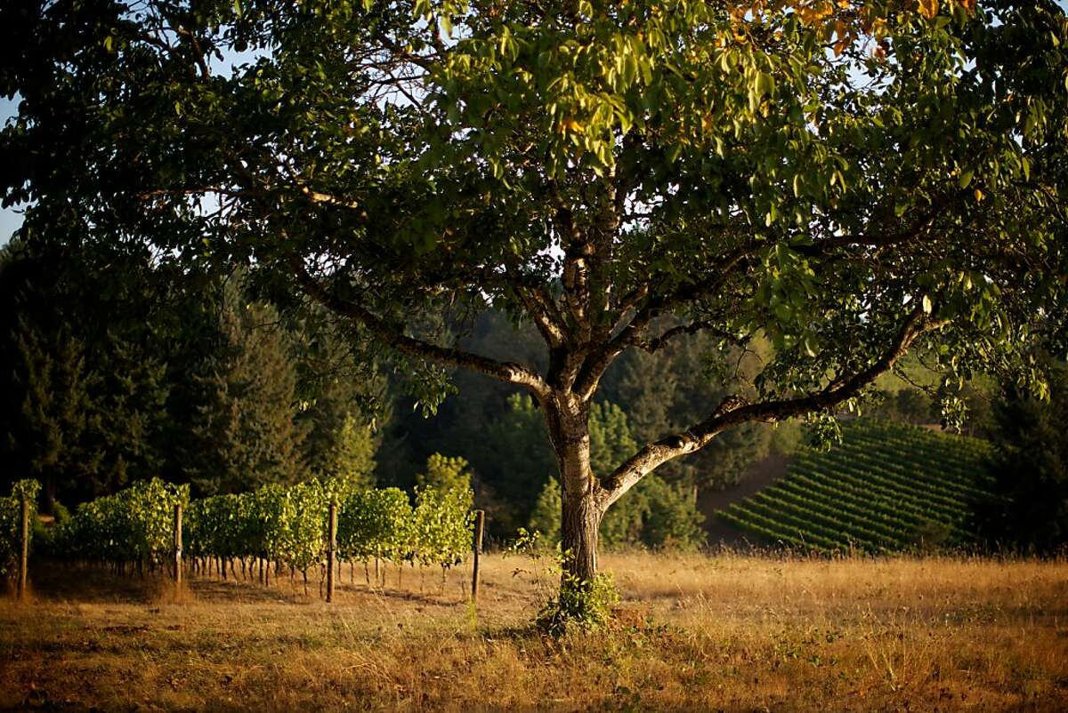 The Eyrie Vineyards, McMinnville, Oregon -- Winemakers are in full harvest and production mode in Western Oregon as the current crop of grapes are the best in the past few growing seasons.