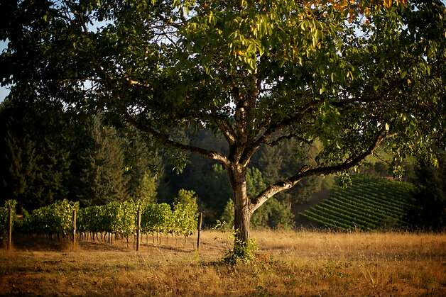 The Eyrie Vineyards, McMinnville, Oregon -- Winemakers are in full harvest and production mode in Western Oregon as the current crop of grapes are the best in the past  few growing seasons. Photo: Bruce Ely