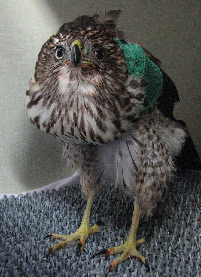 The Cooper's hawk injured at Victor Steinbrueck Park, pictured shortly before it was euthanized. Seattle Police Department photo.