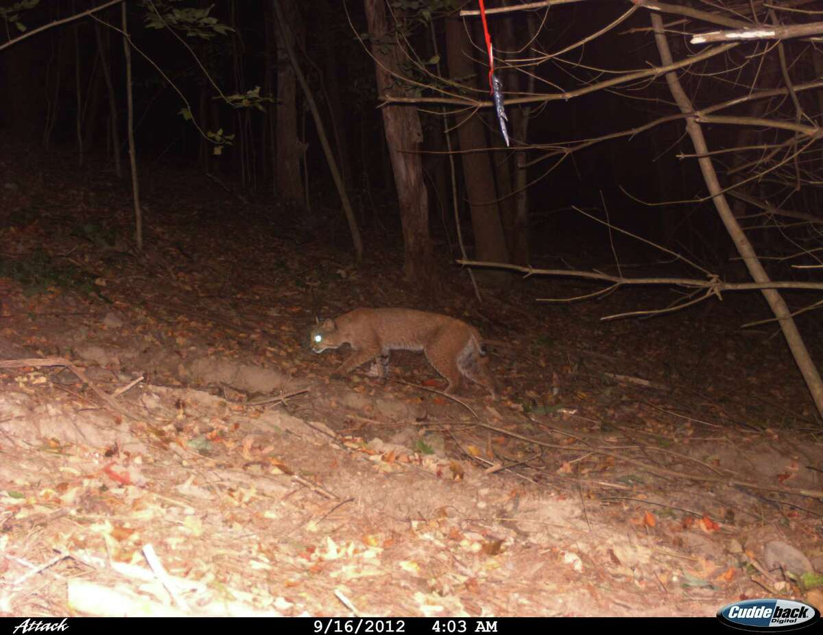 (Alyssa Johnson) A bobcat slinks in the darkness in Alyssa Johnson?s backyard in the Schoharie area where she has set up a camera trap. Johnson is a wildlife management student at SUNY Cobleskill, and often uses camera traps to observe backyard wildlife. She also writes a blog called: bearlyalyssa.blogspot.com