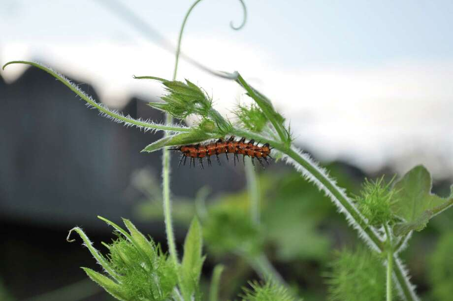 A Gulf fritillary butterfly larvae crawls on a passionvine, a native host plant that will be available at the Houston Museum of Natural Science sale Saturday. Photo: Museum Of Natural Science