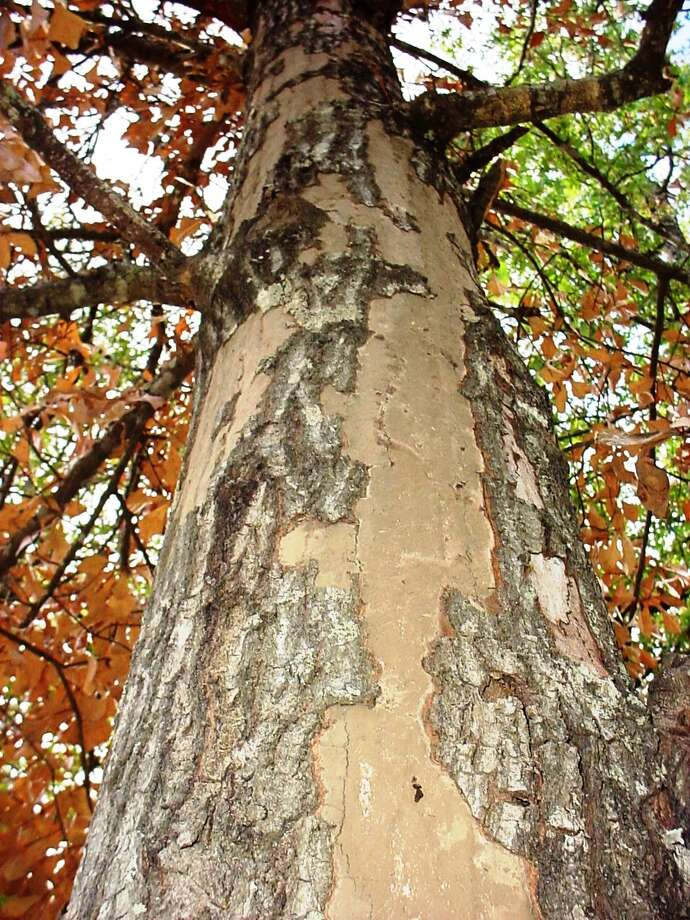 Cases of hypoxylon, a fungal disease, have increased since the drought. Photo: Texas A&M Forest Service