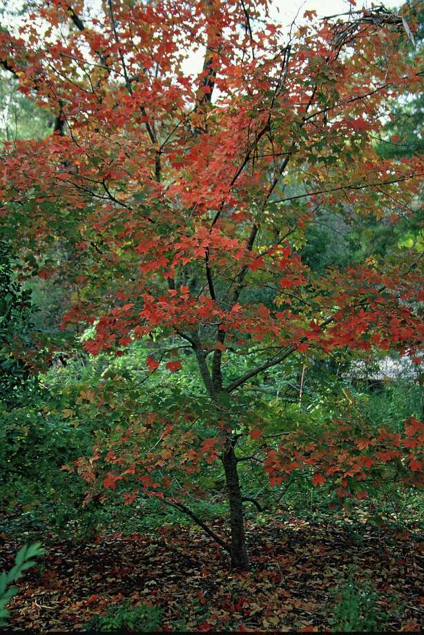 Chalk maple is a small deciduous tree that brings a bit of fall color to the Houston area.