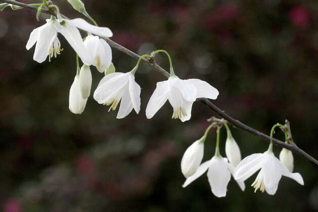 Two-wing silverbell is a graceful understory tree.  Kathy Huber photo Photo: Kathy Huber / Houston Chronicle