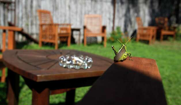 A grasshopper enjoys the sun Tuesday Oct. 2, 2012 on the arm of a a patio chair at the newly-opened Sandstone Cellars wine bar in Mason Texas. Photo: William Luther, San Antonio Express-News / © 2012 San Antonio Express-News
