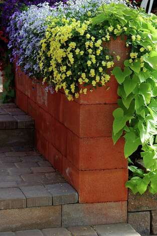 New trailing violas and pansies cascade over cool-season baskets and planters. Photo: McClatchy-Tribune News Service / MCT