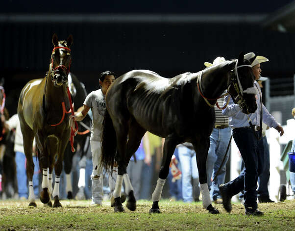 Horses are brought to the paddock before the start of the fourth race during Retama Park's opening night of the 2012 thoroughbred horse racing season in Selma, Friday, October 5, 2012.