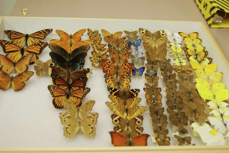 This butterfly and moth collection is only a small samle of the diversity housed at the Big Thicket Association headquarters in Saratoga. Photo: Jay Cockrell / Jay Cockrell
