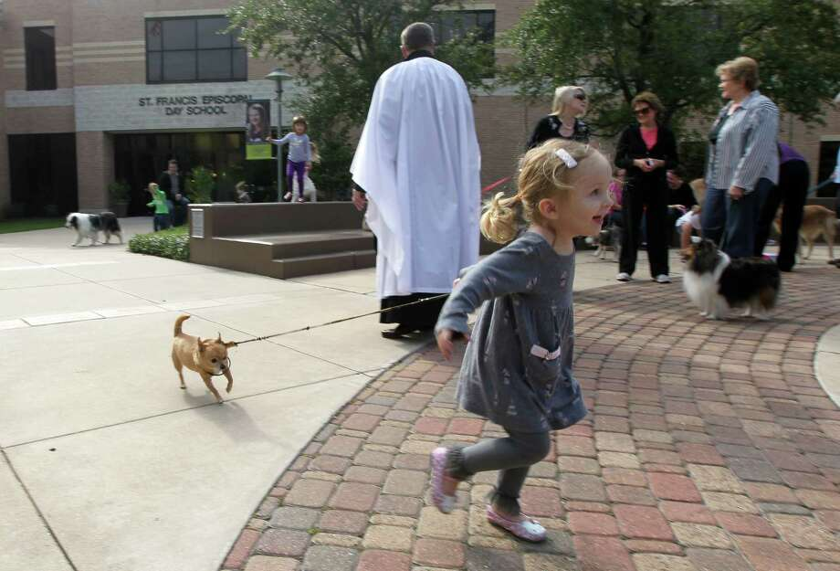 "Two-year-old Keaton Wolf runs with her grandmothers chihauhau ""Teddy Versace"" during the Blessing of the Animals at St. Francis Episcopal Church  Sunday, Oct. 7, 2012, in Houston. Photo: James Nielsen, Chronicle / © Houston Chronicle 2012"