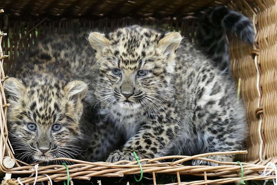For a limited time only! The FTD Basket of Fluff®. Includes two (2) North Chinese Leopard Cubs (Panthera cuteus maximus) and one (1) rustic wicker basket. Order yours from the Tierpark Zoo in Berlin today! Photo: Markus Schreiber, Associated Press