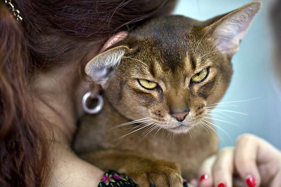 With that attitude, she'll never win Miss Congeniality: A peevish Abyssinian glares before being examined by a judge at an international feline beauty competition in Bucharest. Photo: Vadim Ghirda, Associated Press