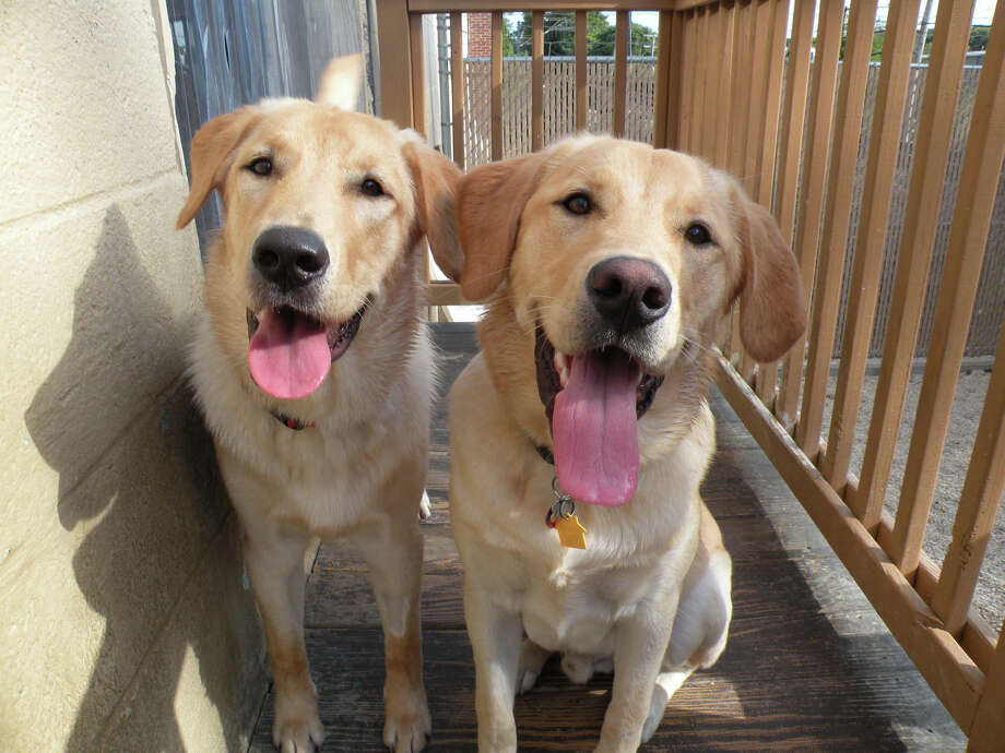 By pure chance, brothers Petie and Cooper, each part yellow Lab, part hound, met again at Camp Bow Wow on Hope Street in Stamford. They are part of a large litter born to Emmie Lyn, a dog rescued in Alabama and brought to Connecticut just before she gave birth. Photo: Contributed Photo