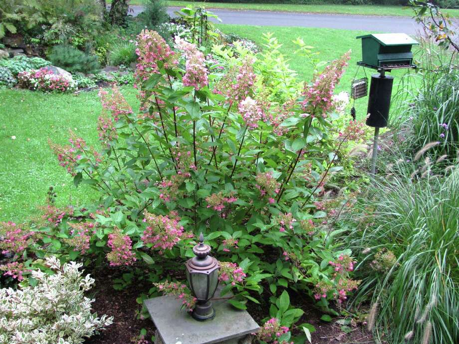 "This ""Pinky Winky"" hydrangea perks up the landscape. Photo: Contributed Photo"