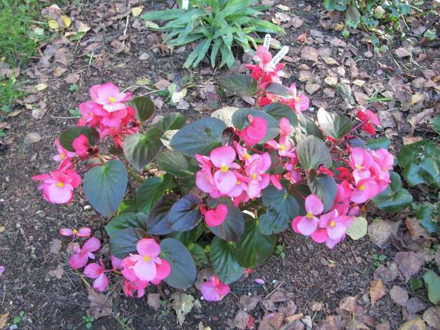 "An ""Angel Wing"" begonia shows off many shades of pink. Photo: Contributed Photo"