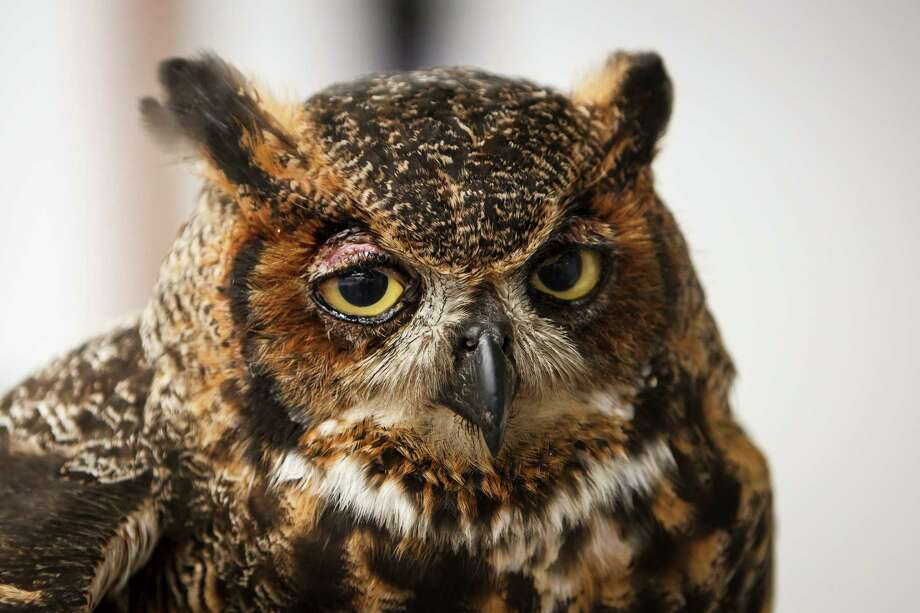 An injured Great Horned Owl at the Wildlife Center of Texas, Tuesday, Oct. 2, 2012, in Houston.  ( Michael Paulsen / Houston Chronicle ) Photo: Michael Paulsen / © 2012 Houston Chronicle