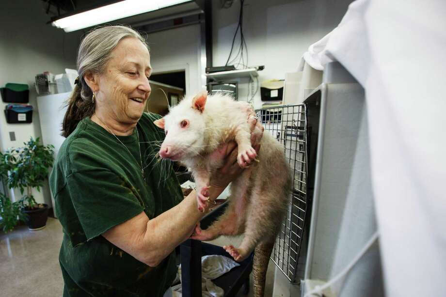 Eileen Donovan gives a bath to Blanca, an albino opossum, at the Wildlife Center of Texas, Tuesday, Oct. 2, 2012, in Houston.  ( Michael Paulsen / Houston Chronicle ) Photo: Michael Paulsen / © 2012 Houston Chronicle