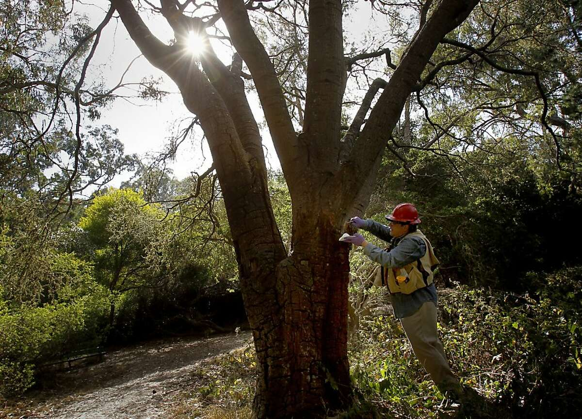 Doug Schmidt takes samples from a coastal oak tree believed to have been killed by sudden oak death in Golden Gate Park. The disease has spread throughout the Bay Area.