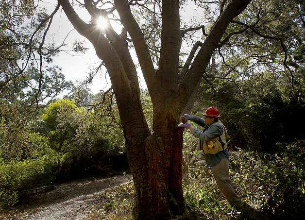 Doug Schmidt takes samples from a coastal oak tree believed to have been killed by sudden oak death in Golden Gate Park. The disease has spread throughout the Bay Area. Photo: Brant Ward, The Chronicle