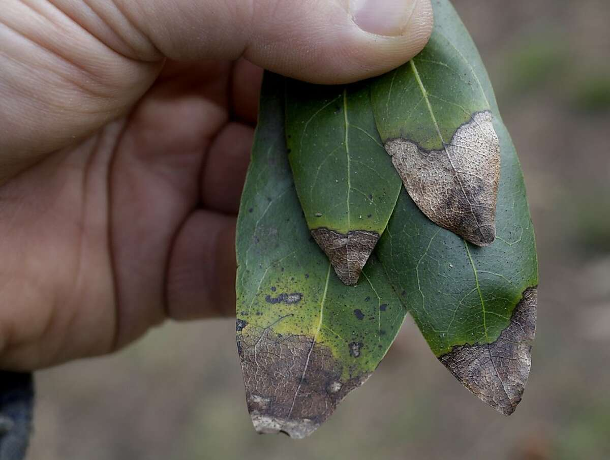 Sudden oak death hits a bay laurel in Golden Gate Park - an unexpected occurrence.
