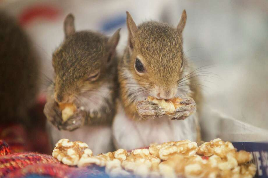 Baby squirrels eat donated nuts at the Wildlife Center of Texas, Tuesday, Oct. 2, 2012, in Houston.  Over 250 baby squirrels are fed three times a day by volunteers until they are old enough to be rehabilitated into the wild. Photo: Michael Paulsen, Houston Chronicle / © 2012 Houston Chronicle