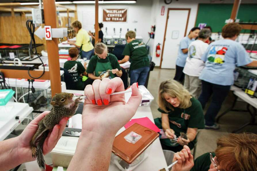 Tracy Strunk feeds a baby squirrel at the Wildlife Center of Texas, Tuesday, Oct. 2, 2012, in Housto