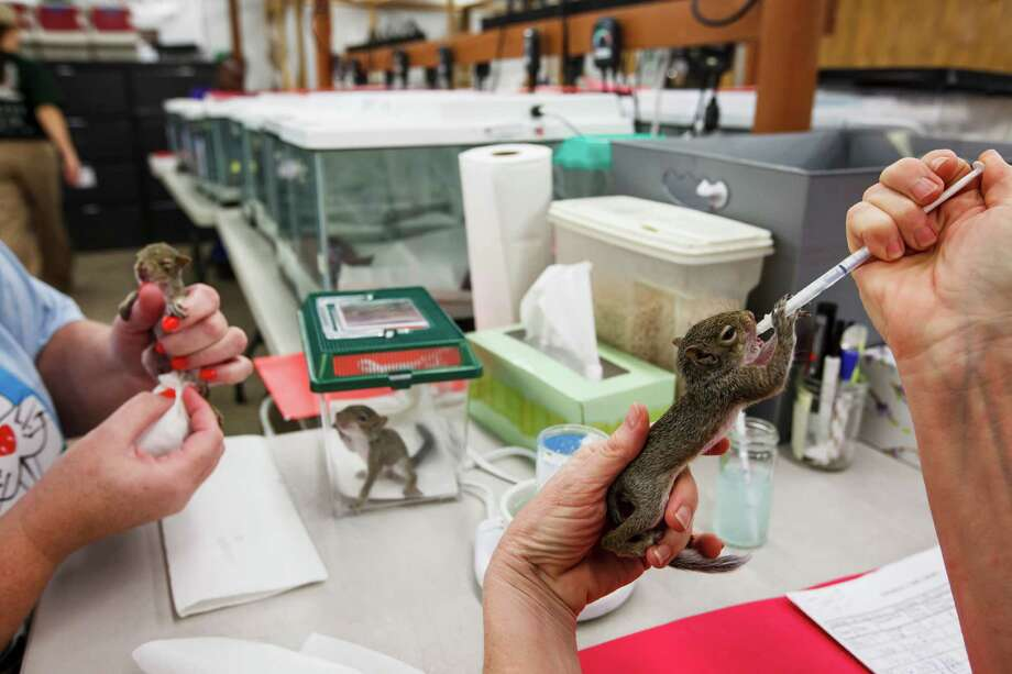 Sue Jett, right, feeds a baby squirrel at the Wildlife Center of Texas, Tuesday, Oct. 2, 2012, in Houston.  Over 250 baby squirrels are fed three times a day by volunteers until they are old enough to be rehabilitated into the wild. Photo: Michael Paulsen, Houston Chronicle / © 2012 Houston Chronicle