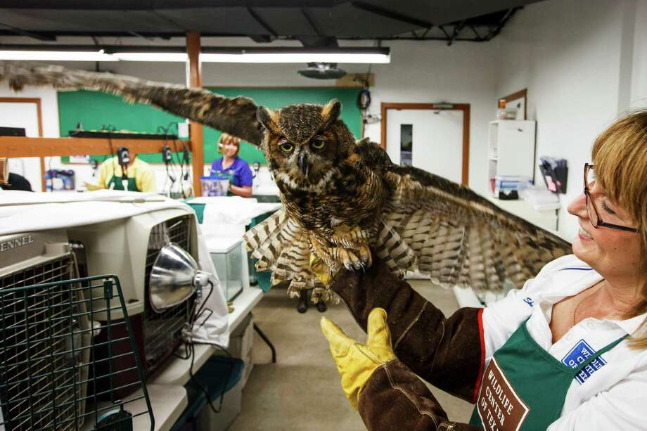 Sharon Schmalz holds an injured Great Horned Owl at the Wildlife Center of Texas, Tuesday, Oct. 2, 2012, in Houston. Photo: Michael Paulsen, Houston Chronicle / © 2012 Houston Chronicle