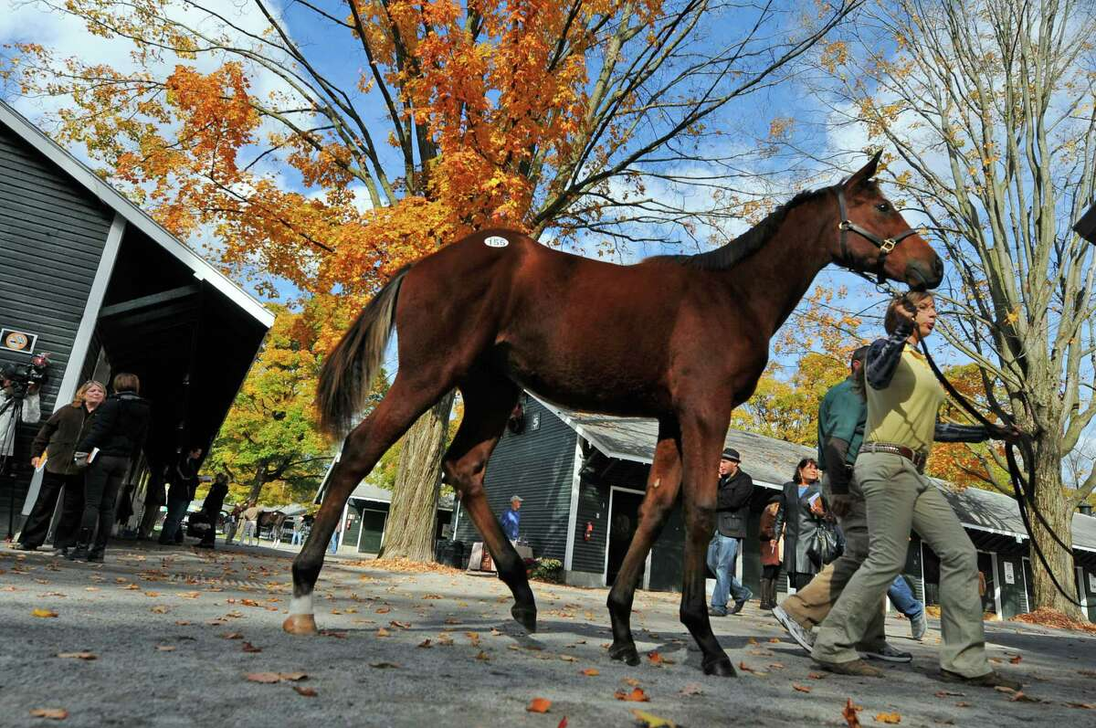 A bay colt, foaled in New York, is led into the pavilion to be auctioned off during the Fasig-Tipton Saratoga Fall Mixed and Horsing of Racing Ages sale, on Tuesday Oct. 9, 2012 in Saratoga Springs, NY. (Philip Kamrass / Times Union)