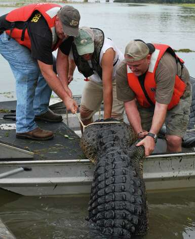 It takes a lot of strong men to get an alligator this size into the boat