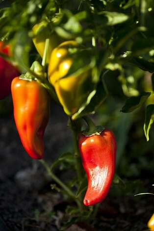 Peppers grow in one of the restaurant gardens at the former Copia. Photo: Jason Henry, Special To The Chronicle
