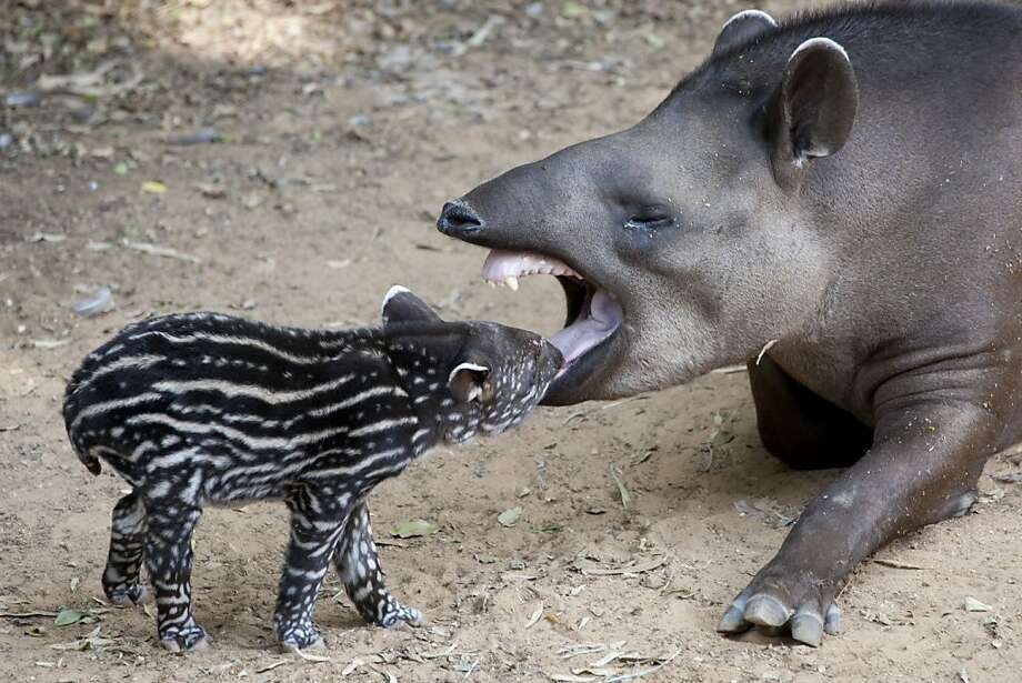 You're in big trouble, Mister! How many times do I have to tell you? No berries before dinner! You know it ruins your appetite for my leaf stew. Why, I have a good mind to ... (A baby tapir gets chewed out at the Ramat Gan Safari near Tel Aviv.) Photo: Ariel Schalit, Associated Press
