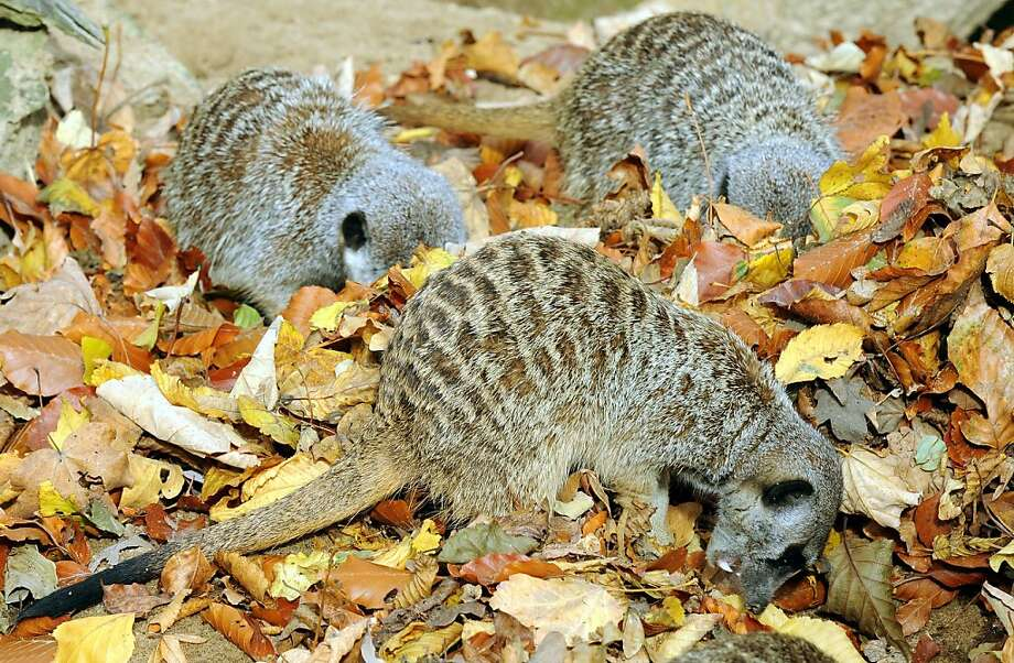 Meerkats love the fall -the brisk weather, the bright colors but mainly the big piles of leaves. That's where the insects try to hide. (Hanover Zoo in Hanover, Germany.) Photo: Holger Hollemann, AFP/Getty Images