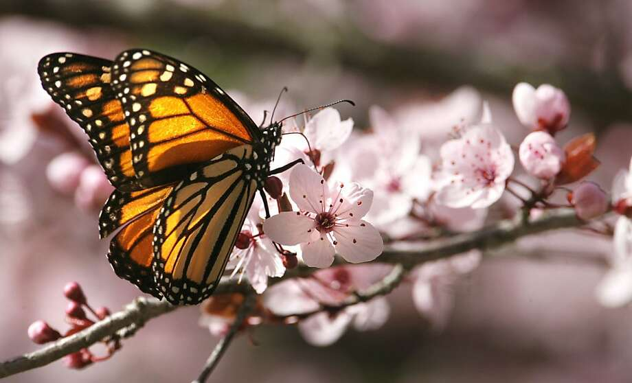 monarch butterflies Photo: Frederic Larson, The Chronicle