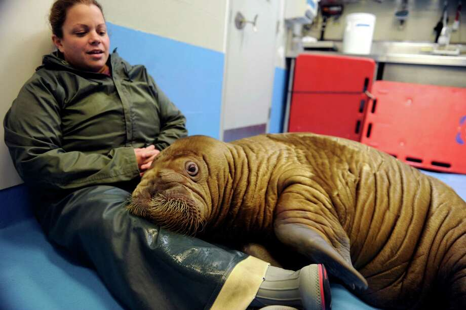 Shawna Gallagher, of the Indianapolis Zoo, spends time with Pakak. Photo: Marc Lester, McClatchy-Tribune News Service / Anchorage Daily News