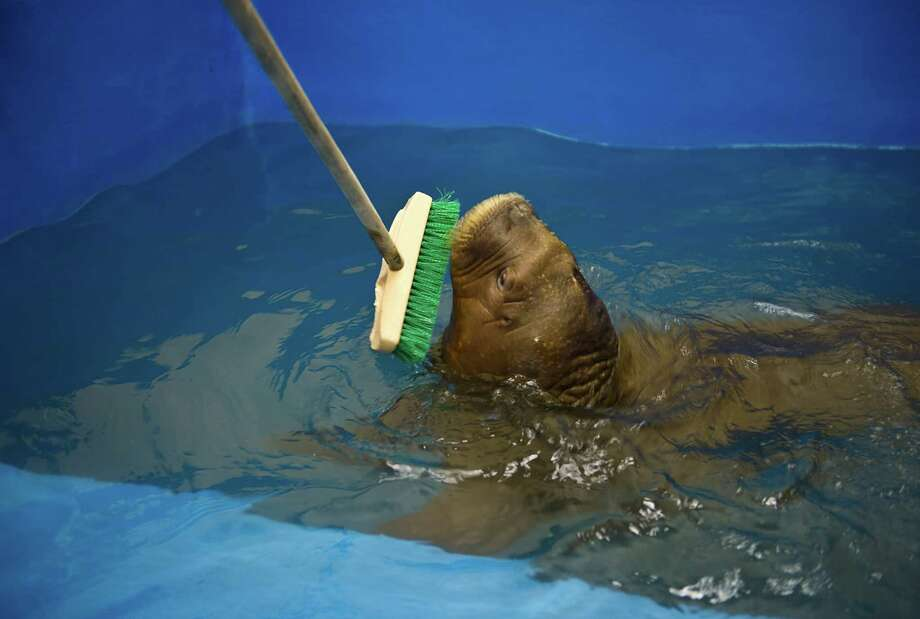 Mitik plays with a broom while swimming. Photo: Marc Lester, McClatchy-Tribune News Service / Anchorage Daily News