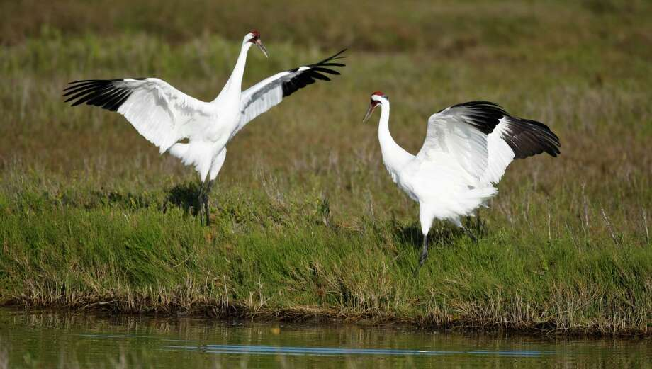 A male whooping crane tries out some of his moves on a female. Photo: Nick De La Torre / Houston Chronicle