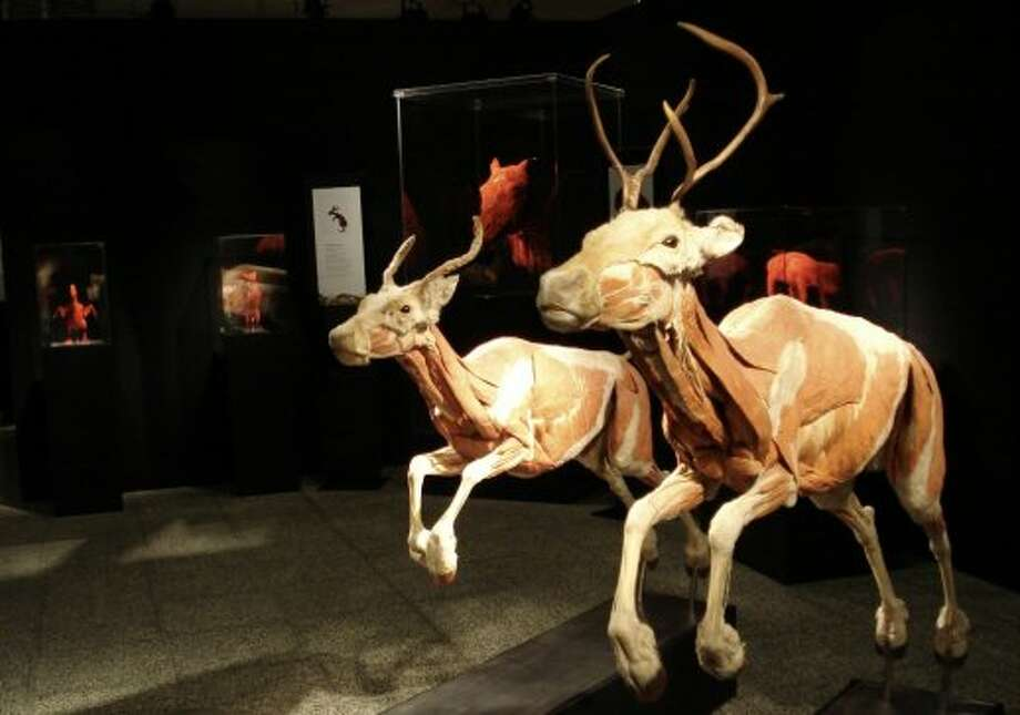 """Plastinated"" animals on display at Gunther von Hagens's Animal Body Worlds. (Gunther von Hagens\\\'s Animal Body Worlds)"