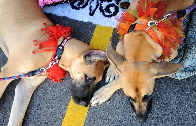 Marmalade and Kennedy take a break during Dogtoberfest downtown Beaumont, Saturday. Tammy McKinley/The Enterprise Photo: TAMMY MCKINLEY, MBR / Beaumont