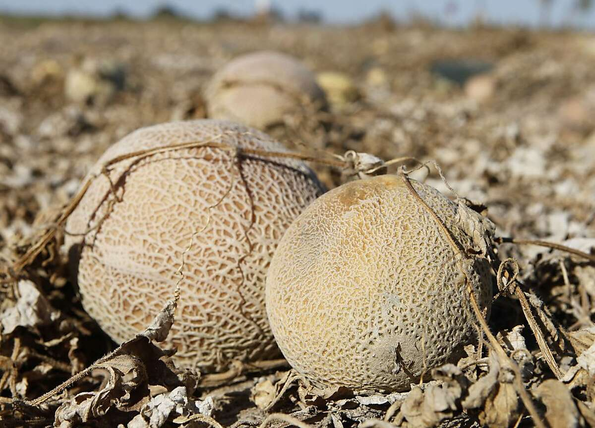 Cantaloupes rot in the afternoon heat on a field on the Jensen Farms near Holly, Colo., on Wednesday, Sept. 28, 2011. Federal health officials said Wednesday more illnesses and possibly more deaths may be linked to an outbreak of listeria in cantaloupe incoming weeks.