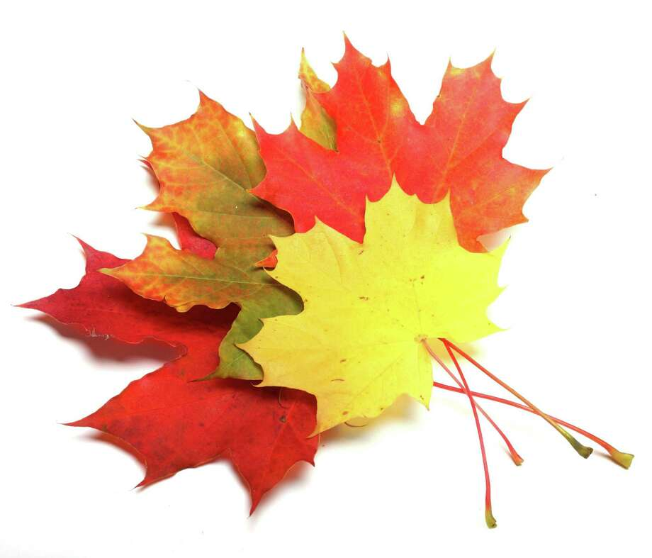 Sugar maples make autumn spectacular. (Fotolia.com) / Kletr - Fotolia