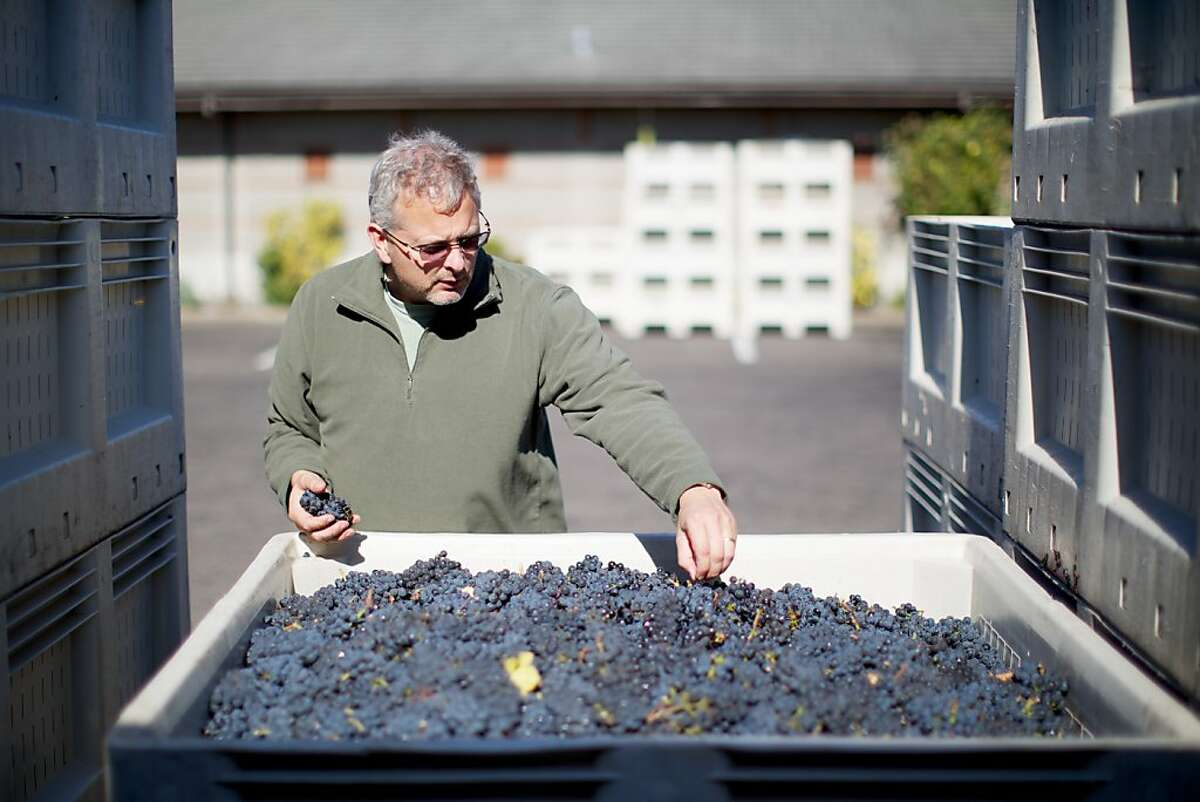 Adelsheim Vineyards, Newberg, Oregon -- Winemakers, including Dave Paige, are in full harvest and production mode in Western Oregon as the current crop of grapes are the best in the past few growing seasons.