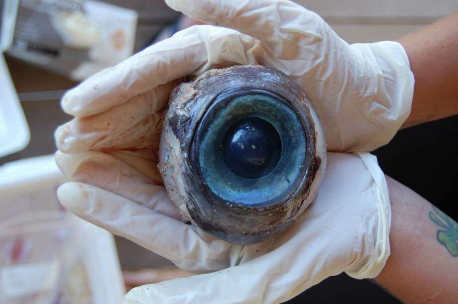 This Thursday, Oct. 11, 2012 photo made available by the Florida Fish and Wildlife Conservation Commission shows a giant eyeball from a mysterious sea creature that washed ashore and was found by a man walking the beach in Pompano Beach, Fla. on Wednesday. No one knows what species the huge blue eyeball came from. The eyeball will be sent to the Florida Fish and Wildlife Research Institute in St. Petersburg, FL. (AP Photo/Florida Fish and Wildlife Conservation Commission, Carli Segelson) Photo: Carli Segelson, HOPD / Florida Fish and Wildlife Conser