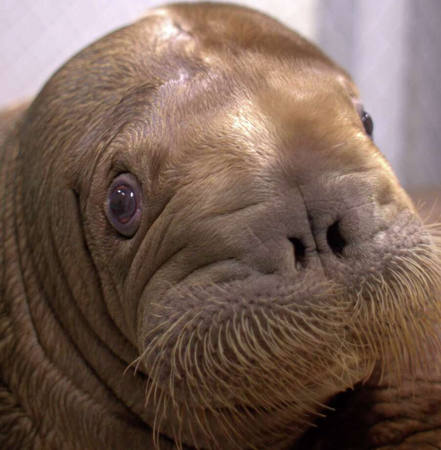 In this Sept. 2012 photo provided by the Alaska SeaLife Center, the baby walrus Mitik sits in a small pool at the Alaska SeaLife Center in Seward, Alaska. On Thursday, Oct. 11, 2012 Mitik arrived at the Wildlife Conservation Society's New York Aquarium in Brooklyn. The 15-week-old mammal was rescued from the ocean off Alaska in July. New York Aquarium staff escorted him on an overnight flight to Newark, N.J. (AP Photo/Alaska SeaLife Center) Photo: Uncredited