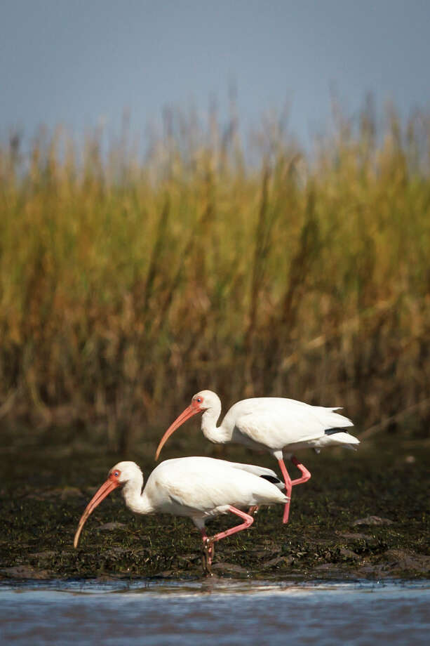 White ibis search for food in Christmas Bay. Photo: Michael Paulsen / © 2012 Houston Chronicle