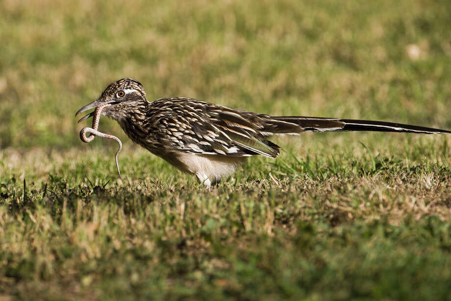 "A folk name for the roadrunner is ""snake killer"" for the bird's taste for snakes, lizards, and scorpions.  Photo Credit:  Kathy Adams Clark.  Restricted use. Photo: Kathy Adams Clark / Kathy Adams Clark/KAC Productions"