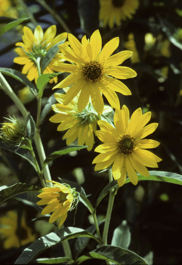 Maximilian sunflower (Helianthus maximiliani) Photo: Andy And Sally Wasowski, Lady Bird Johnson Wildflower Center