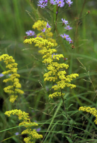 Fall Wildflowers Prairie goldenrod 1013  Prairie goldenrod (Solidago nemoralis) Photo: Andy And Sally Wasowski