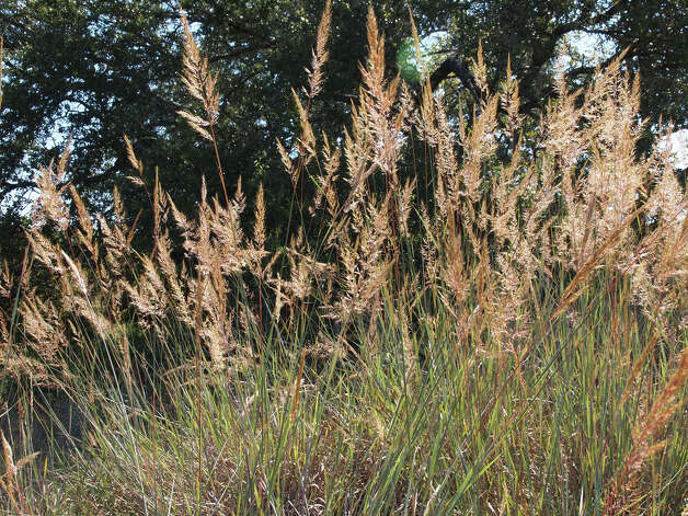Fall Wildflowers 1013  Indian grass (Sorghastrum nutans) Photo: Nan Hampton