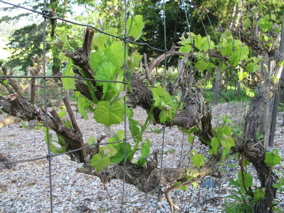 Grapevines should be pruned once a year while the plants are dormant. Leaves should be stripped from the canopy in summer if they have formed around the fruit, shielding it from the sun. Photo: Dean Fosdick Photos, Associated Press / AP