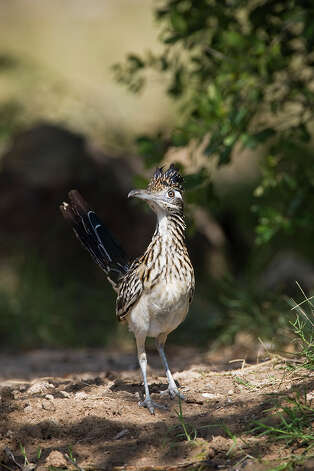 The greater roadrunner stands about a foot tall and measures two feet from beak to tail. It can race along the road at 18 mph. Photo: Kathy Adams Clark / Kathy Adams Clark/KAC Productions